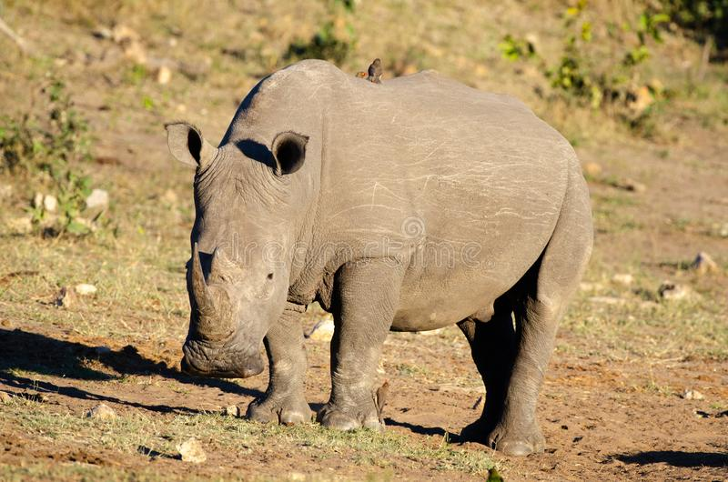 RHINO: A FRIEND IN NEED 18. White rhinoceros Ceratotherium simum are earth`s second-largest land mammals. Rhinos are endangered due to incessant poaching for stock photos