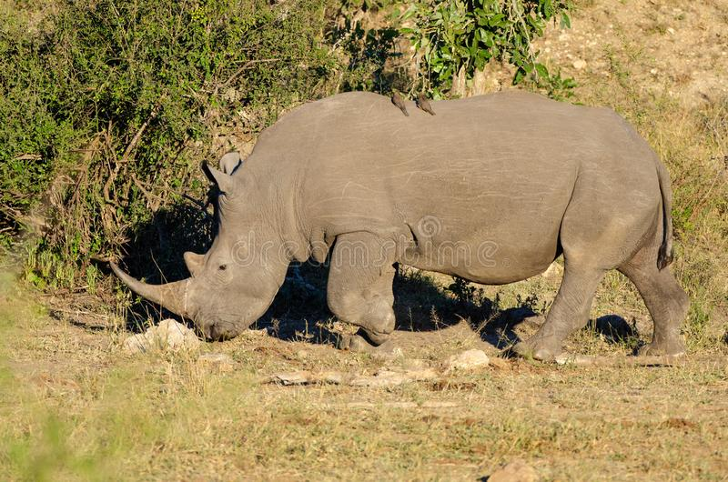 RHINO: A FRIEND IN NEED 19. White rhinoceros Ceratotherium simum are earth`s second-largest land mammals. Rhinos are endangered due to incessant poaching for royalty free stock photo