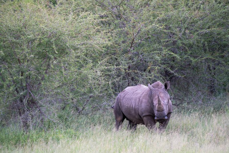 Rhino in South Africa looking into the camera stock images