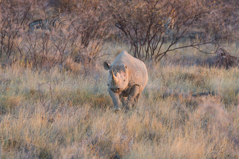 Download Rhino stock photo. Image of horned, description, physical - 34316966