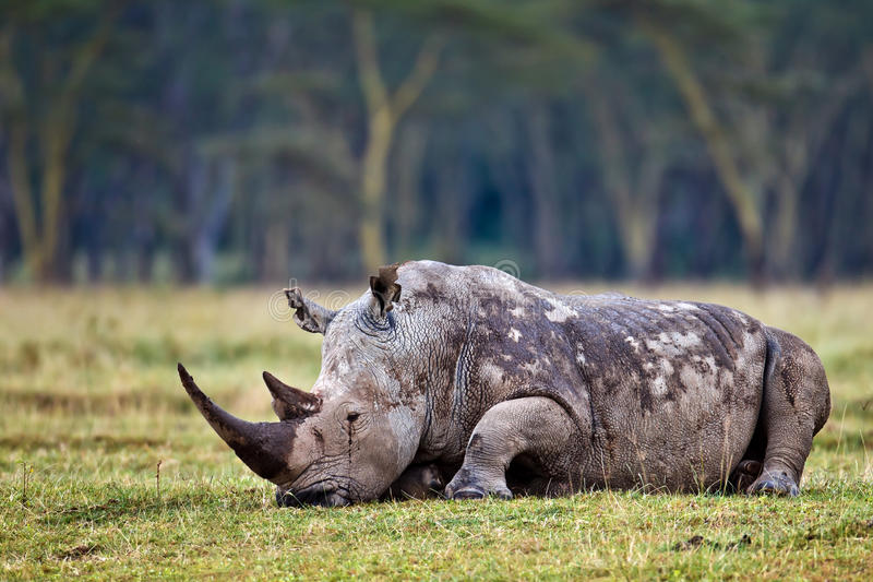 Download Rhino is on the grass stock image. Image of wildlife - 15609573