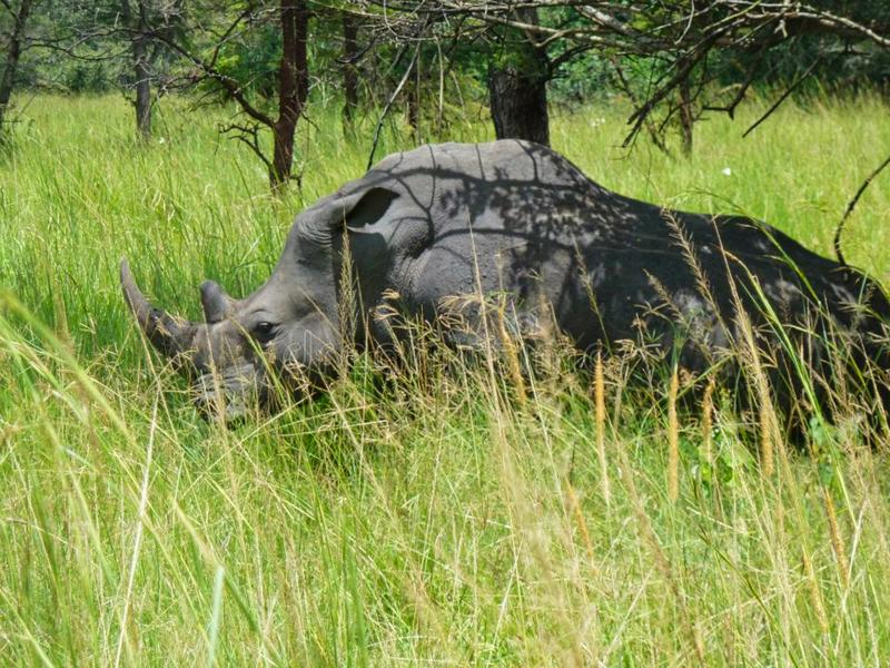 A rhino in the grass in africa. Large, nakuru, simum, square-lipped, outdoor, grassland, endangered, grasses, wildlife, horned, nature, cute, tourism stock photos