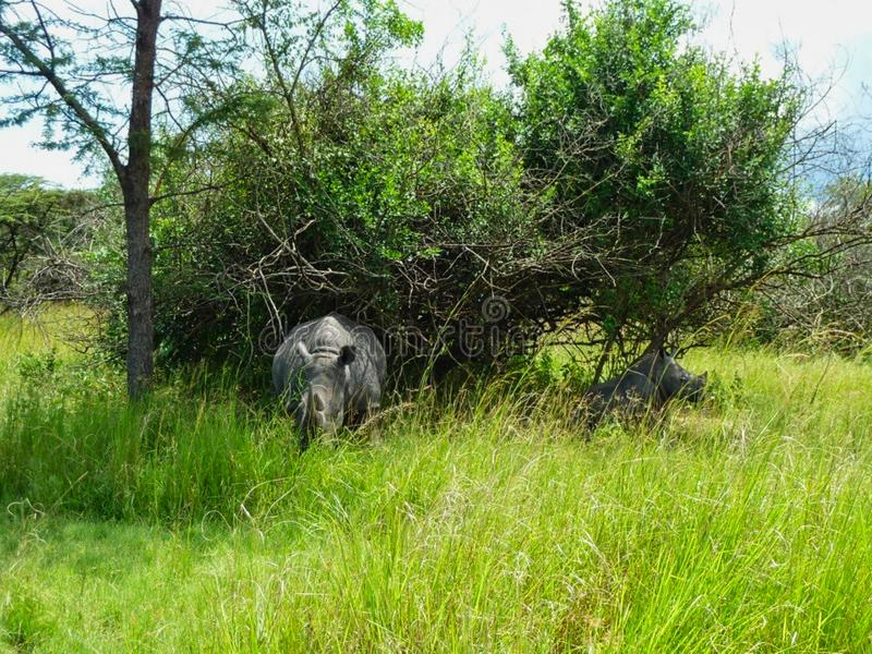 A rhino in the grass in africa. Large, nakuru, simum, square-lipped, outdoor, grassland, endangered, grasses, wildlife, horned, nature, cute, tourism royalty free stock photo