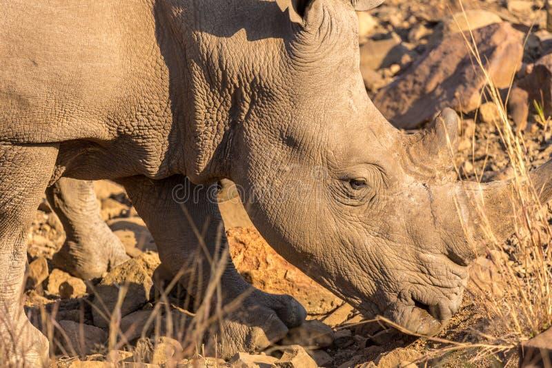 A Rhino Grazing Royalty Free Stock Photography