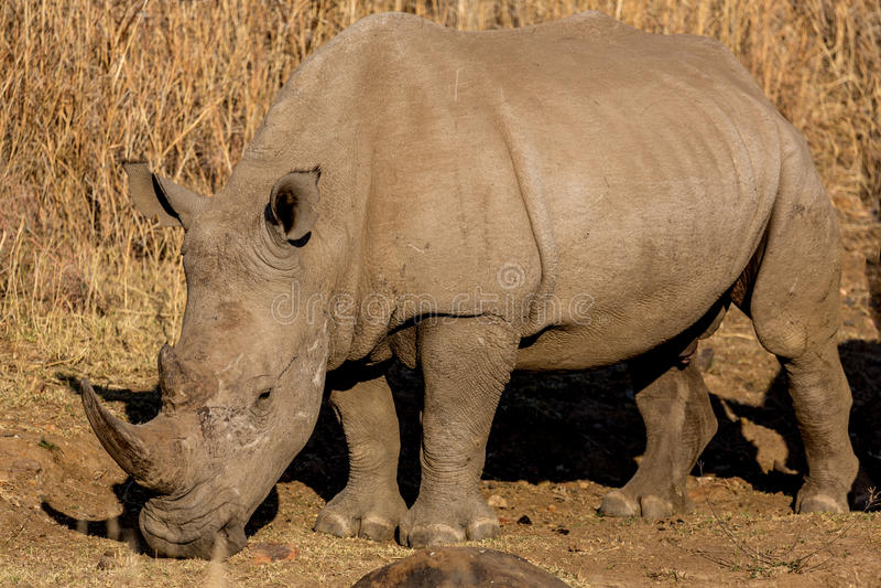 Download A rhino grazing stock photo. Image of wild, rhino, african - 33690956
