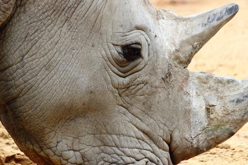 Rhino head close up in zoo in germany in augsburg. Focus on foreground royalty free stock image