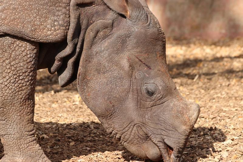 Rhino head in Focus in zoo in germany in nuremberg royalty free stock photography