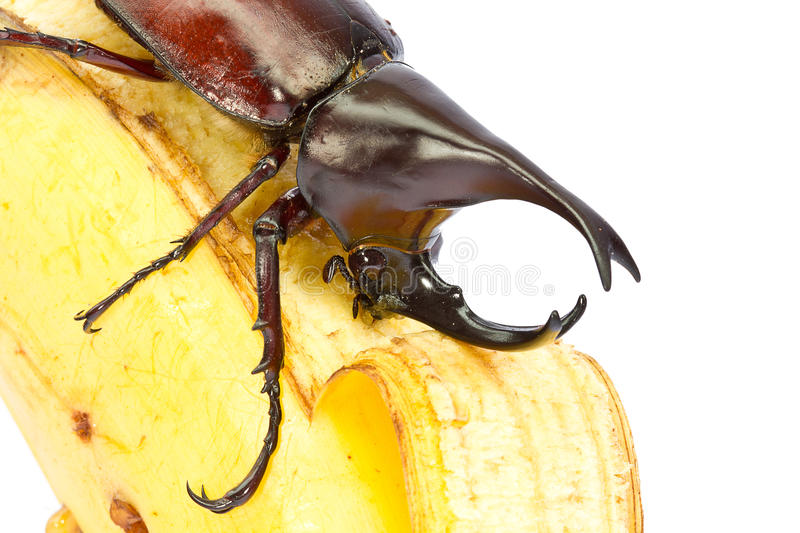 Download Rhino hercules beetle stock photo. Image of legs, macro - 26921992