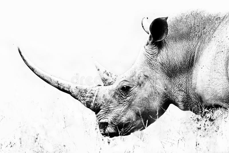 Rhino Horn. Black and White Art Photography, a long horn of a endangered Rhino in Lake Nakuru Kenya Africa royalty free stock images