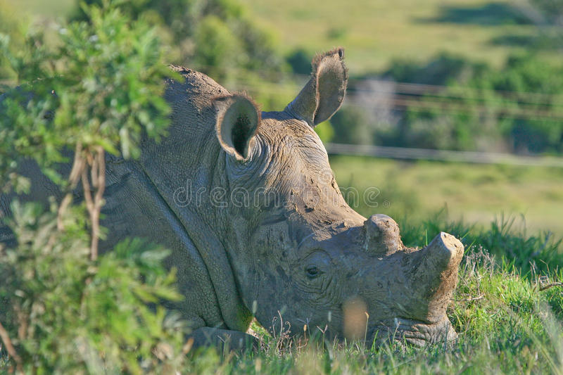 Rhino with horn removed. This white rhino's horns were sawn off by veterinary experts and rangers in a bid to protect it from rhino horn poachers. Here it rests royalty free stock images
