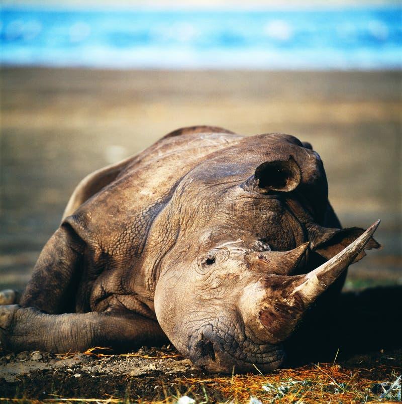 Rhino. Horn savannah africa botswana bush tree muzzle stock photo
