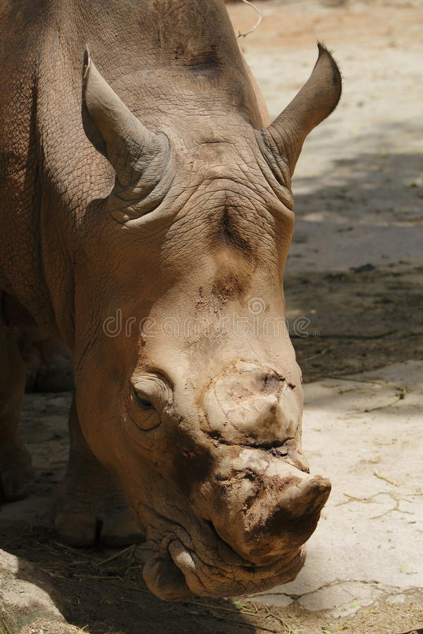 Download Rhino stock image. Image of rhino, horn, animal, species - 30496077