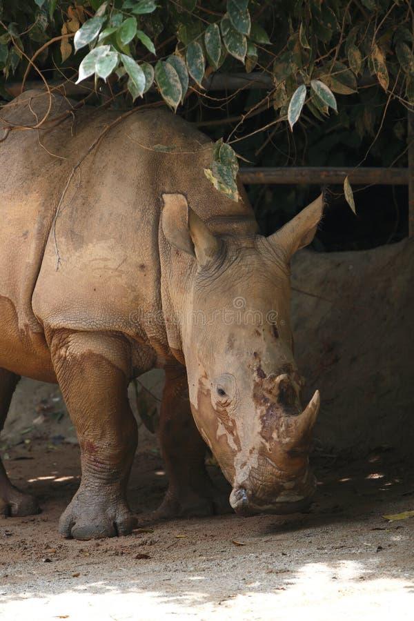 Download Rhino 2 Stock Photography - Image: 30496092