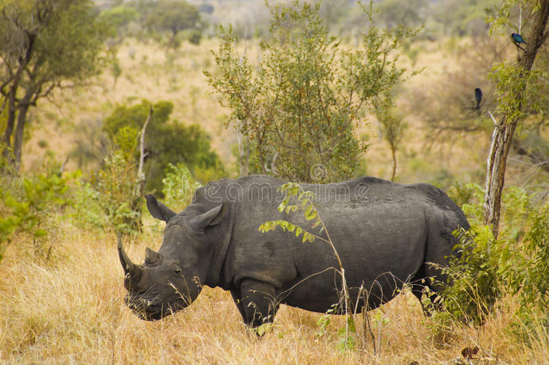 Rhino in the Kruger National Park. Side view of a solitary rhinoceros in the Kruger National Park stock photo