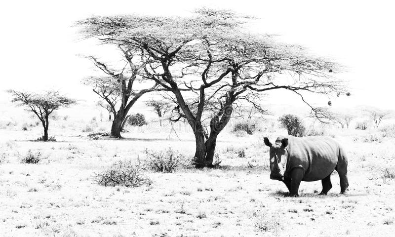 Rhino Land. Black and White Stunning Wildlife Art Photography of a Rhino in a beautiful landscape stock photography