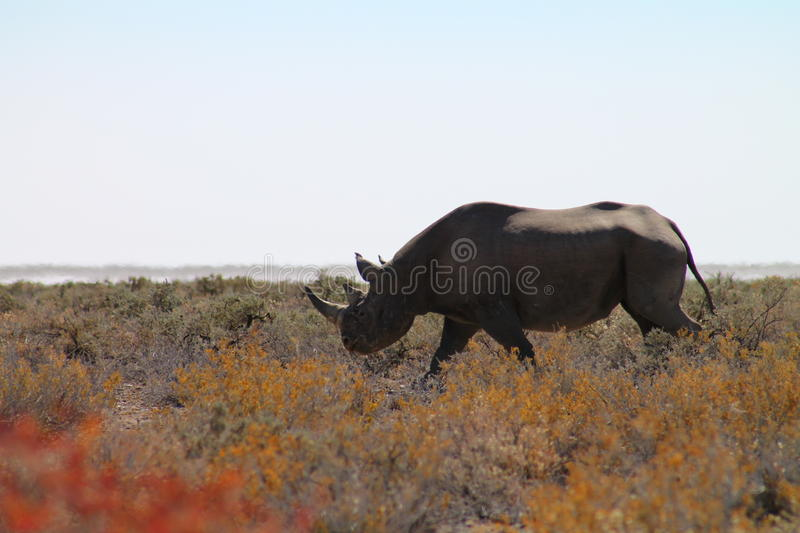 Rhino. Namibia, Ethosha National Park. Rhino male stock image