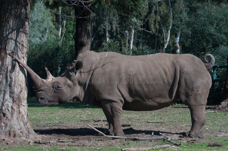Rhino. Near big eucalyptus tree stock images