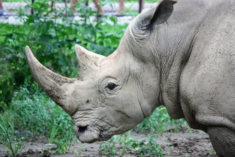 Rhino at the Omaha zoo stock images