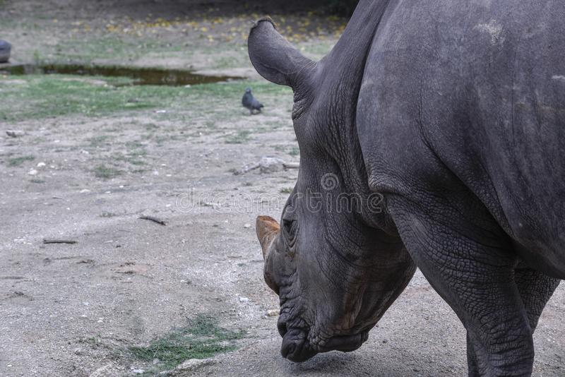 The Rhino is in the open zoo. It eatting gress royalty free stock photography