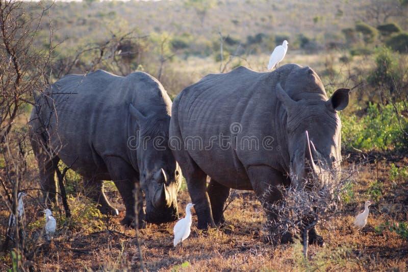 Download Rhino pair stock photo. Image of savannah, birds, front - 10511688