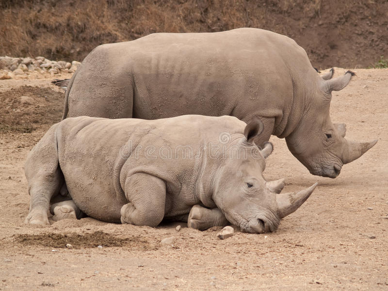 Rhino Pair stock photo