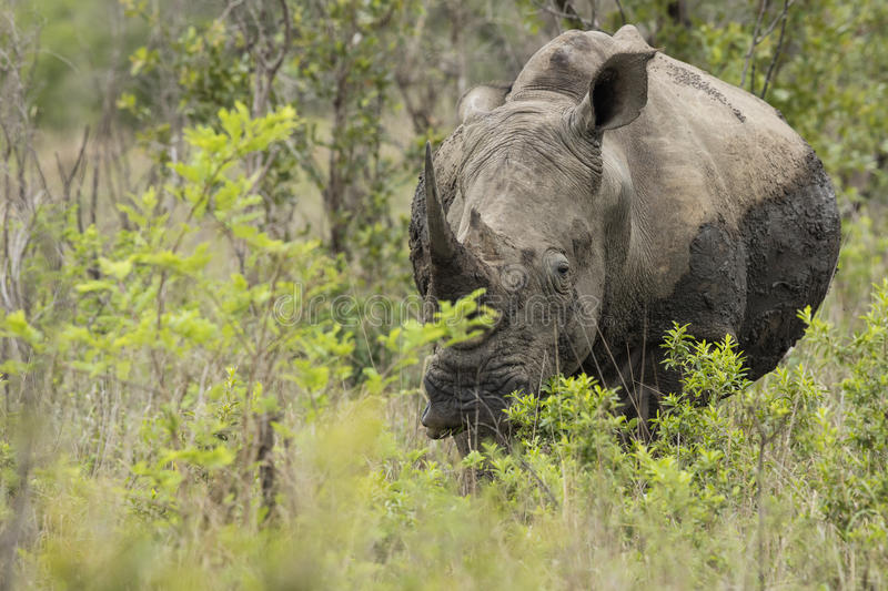Rhino portrait in South Africa royalty free stock images