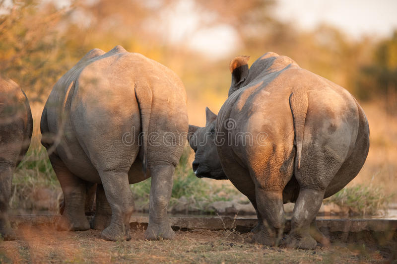 Rhino rear ends. Rhinos seen from behind, near Kruger National Park royalty free stock photography