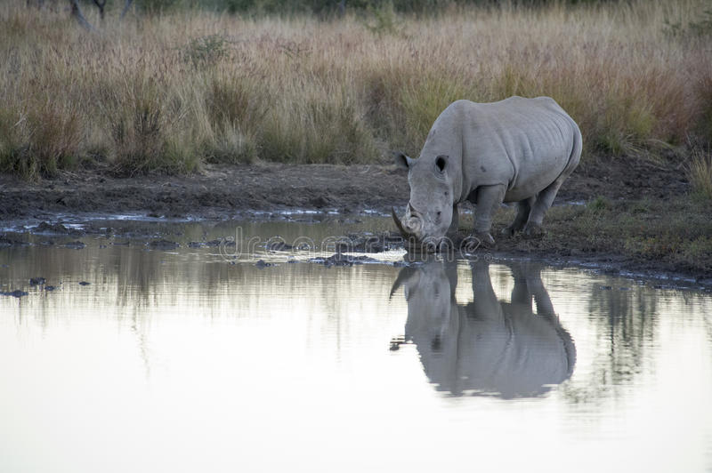 Rhino reflection. A white rhinoceros drinks from a waterhole in the Pilanesberg Game reserve, South Africa royalty free stock photo