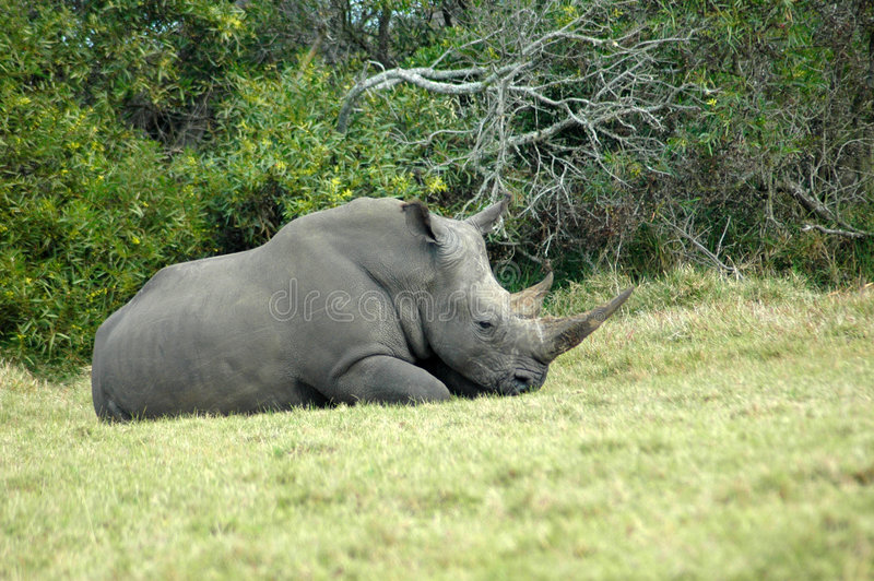 Download Rhino resting stock photo. Image of african, vegetarian - 2880316