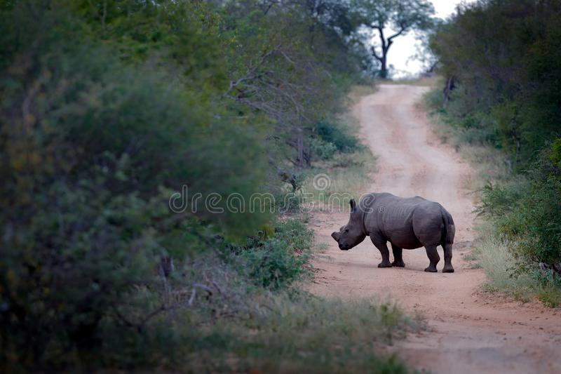 Rhino on the road in forest habitat. White rhinoceros, Ceratotherium simum, with cut horns, in the nature habitat, Kruger National stock image