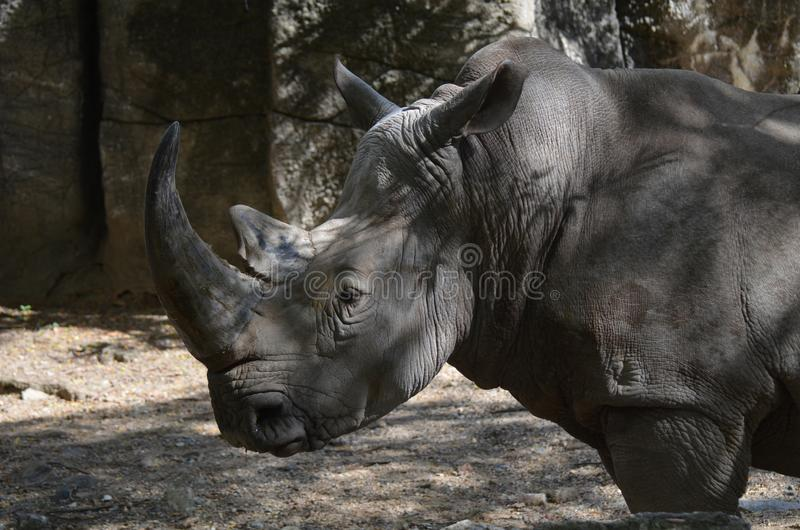 Rhino`s Face Up Close and Personal royalty free stock images