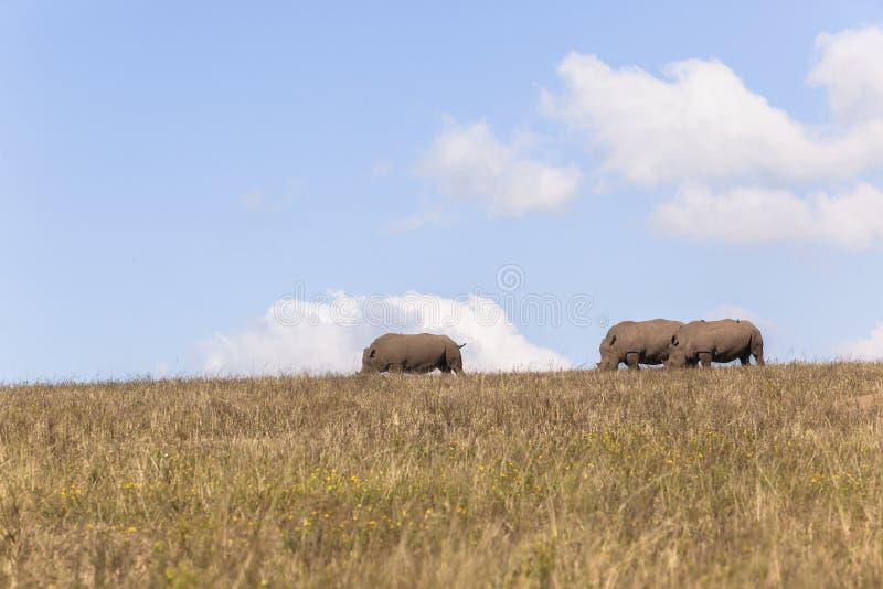 Rhino's Three Landscape royalty free stock photography