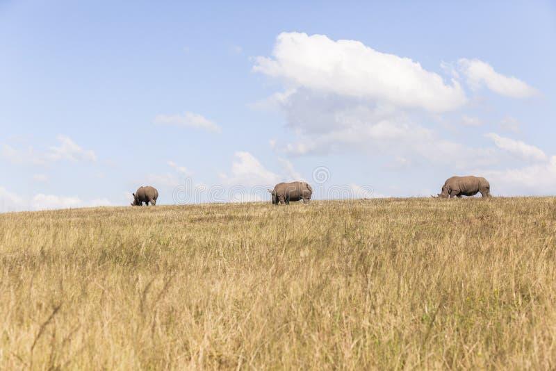 Rhino's Wildlife royalty free stock images