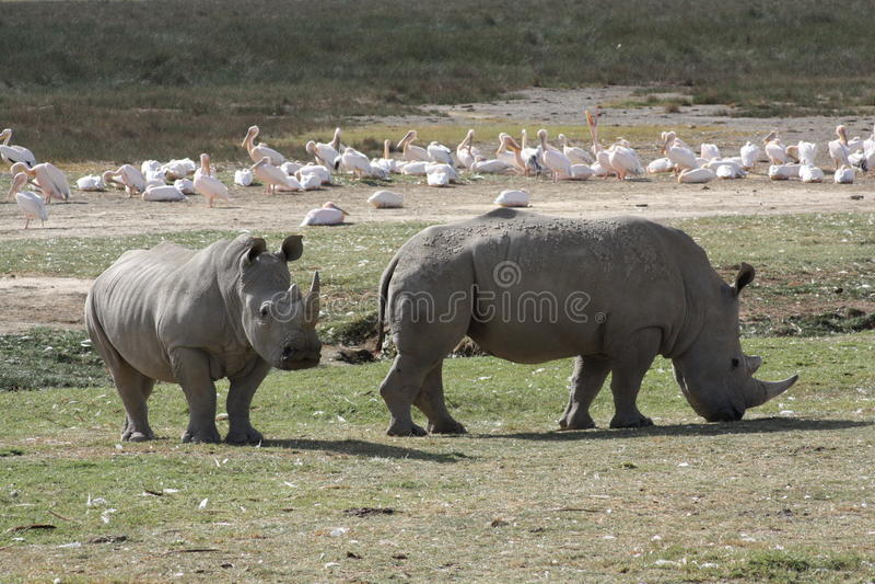 Rhino See Nakuru stockfoto