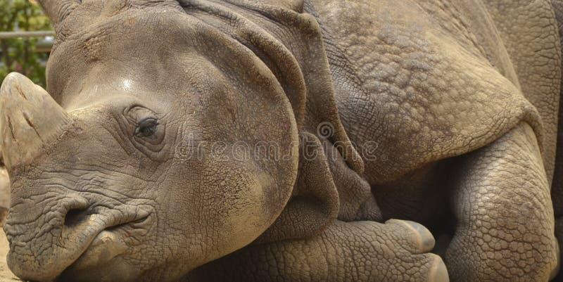 Download Rhino Sleeping stock photo. Image of armor, white, laying - 24642614