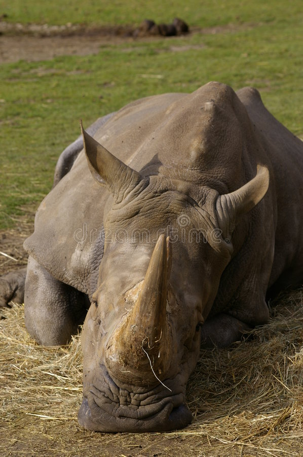 Rhino sleeping royalty free stock photos