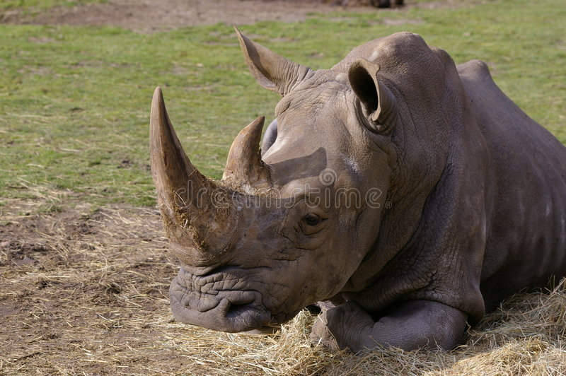 Rhino sleeping royalty free stock images