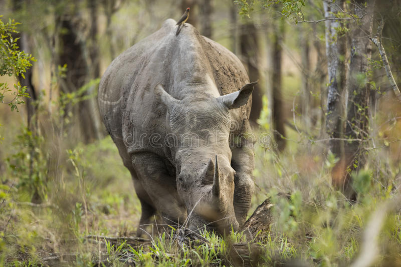 Rhino in South Africa stock image