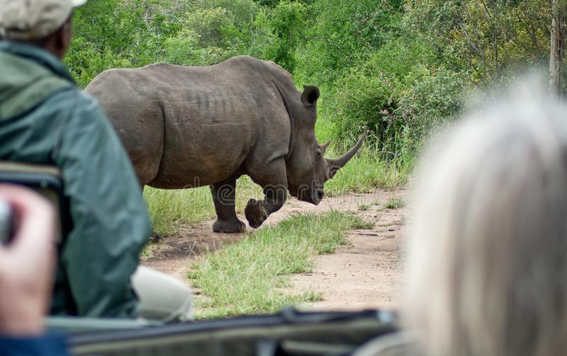Rhino in South African game park running from rangers. Rhino in South African game park running away from ranger vehicle, the Rhino has large horn, safari stock photo