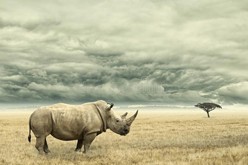 Rhino standing in dry African savana with heavy dramatic clouds above. Photo manipulation of a Rhino in dry African savana with heavy dramatic clouds above royalty free stock image