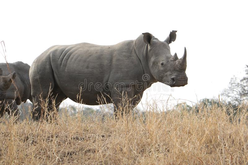 Rhino standing in dry bush royalty free stock photo