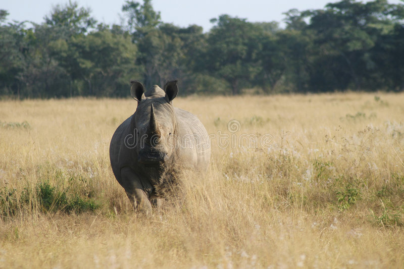 Rhino staring. Staring Rhinoceros royalty free stock photography