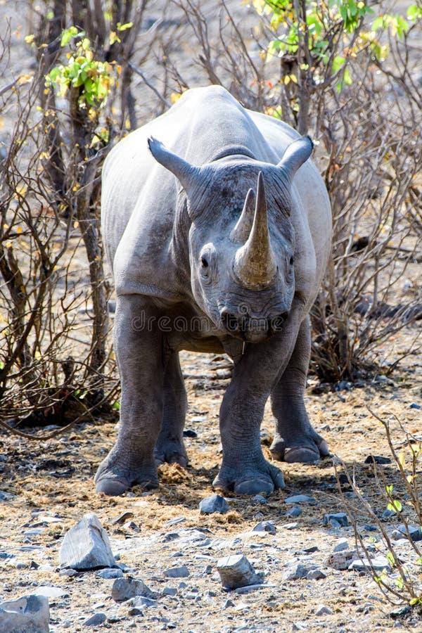 Rhino straight ahead. Wary rhino looking straight ahead royalty free stock photography