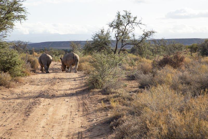 Rhino street royalty free stock image
