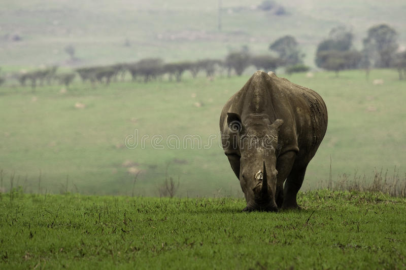 Rhino in Tala Game Reserve. White rhino grazing at tala game reserve (South Africa stock image