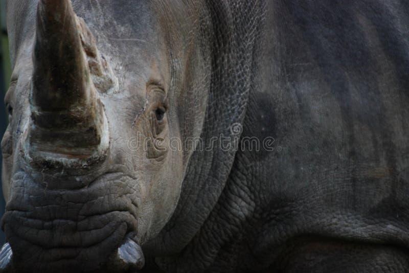 Rhino Turn stock photography
