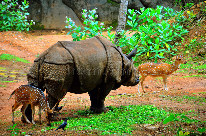 Download Rhino with two axis deer stock photo. Image of wildlife - 19408716