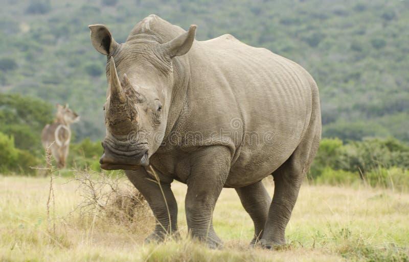 Rhino and Waterbuck stock image