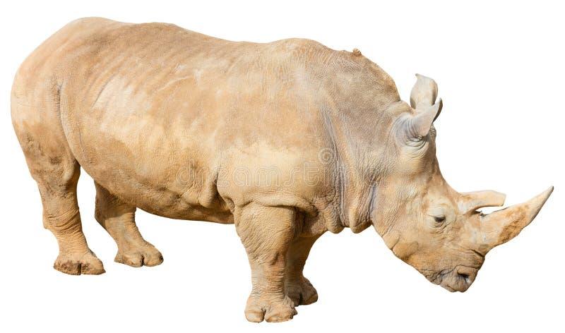 Rhino on a White Background. White Rhino (Cerathotherium simum) on a white background with a clipping path royalty free stock photos