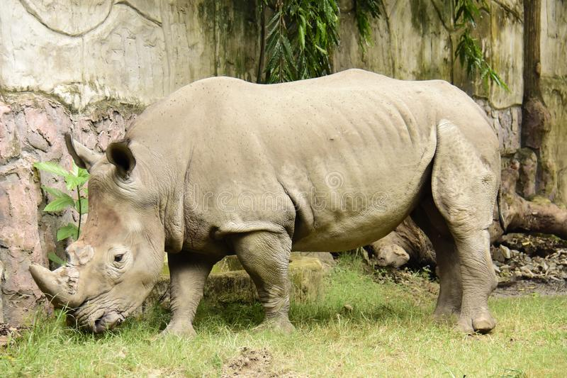 Rhino, White Ceratotherium simum. One of Africa's most endangered animals being poached for its horn, found in sub-Saharan Africa royalty free stock photos